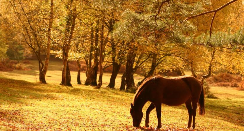 New Forest horse in autumn